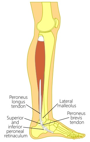 Peroneal Muscles frequently affected by ankle sprain